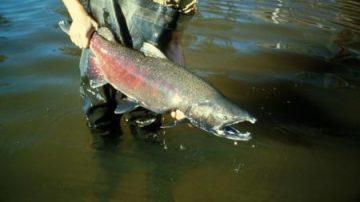 USA, arriva il salmone OGM