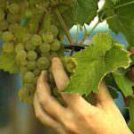 Piemonte, ottime prospettive per il vino di Alessandria ed Asti
