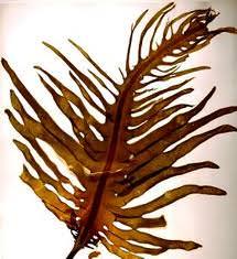 Dal mare britannico contro l'acne giovanile: ecco le alghe brune