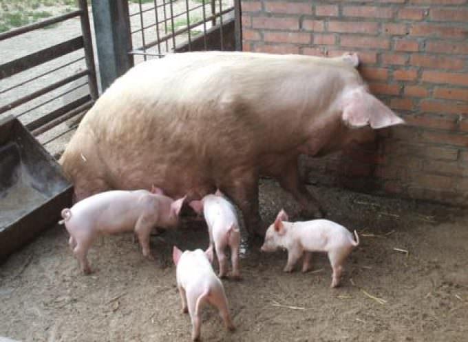 Reggio Emilia: Po(r)co guadagno per gli allevatori italiani di suini