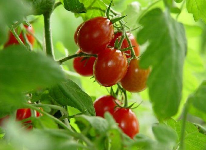 Il pomodoro cinese viene pagato più di quello italiano…