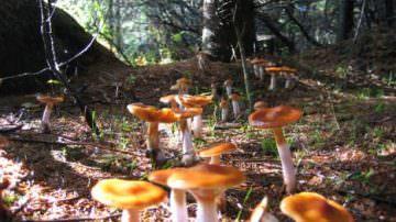 Funghi e tartufi non si trovano, è boom nocciole e le castagne sono già pronte…