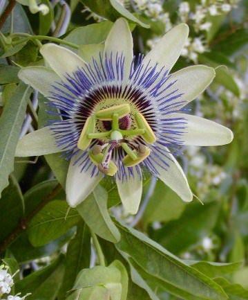 Stop all'ansia con la passiflora
