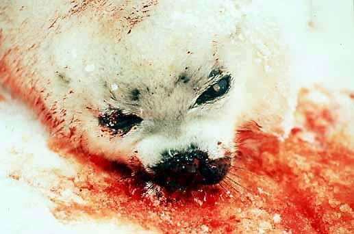 Scontro UE-Inuit, rimane il bando per i prodotti a base di foca