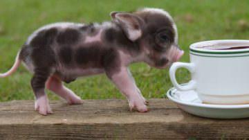 Gran Bretagna. Il grande problema dei mini maiali