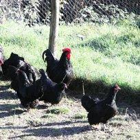 Liguria: il gallo Nero della Val di Vara razzola ancora