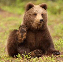In Trentino si mangia spezzatino d'orso. E gli animalisti protestano