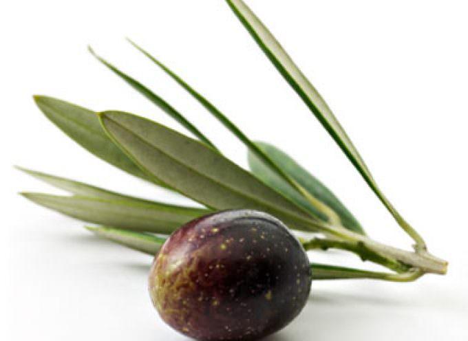 Salento leccese: Diffusione sempre più grave della lebbra dell'olivo