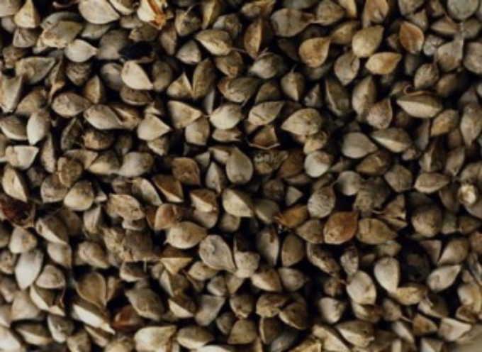 Grano saraceno selvatico: antiossidante, anti-ipertensione