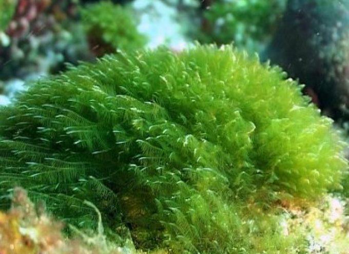 L'alga spirulina stimola il sistema immunitario