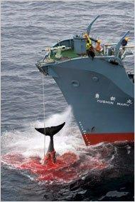 Giappone, carne di balena per scopi alimentari. Ma la pesca non si ferma