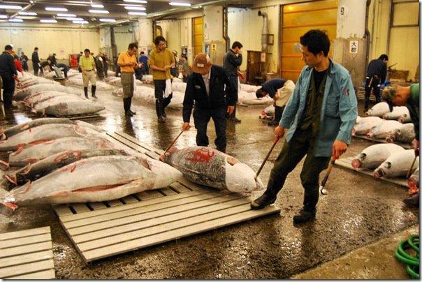 Giappone, un tonno rosso da record: 342 chili, 300.000 euro