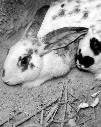 Vive in una fossa, è mangiato in comunità: questo il coniglio di Ischia