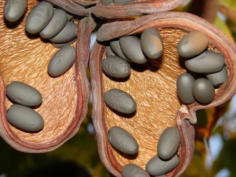 L'olio di ulivo di Java riduce il grasso addominale