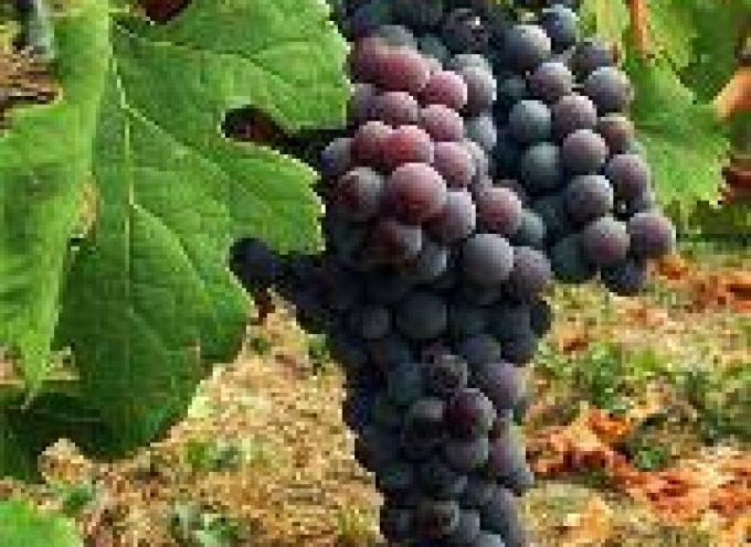 Anziani, l'uva rallenta e previene la degenerazione maculare