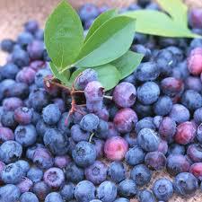 Mirtilli selvatici tropicali, potere antiossidante 11 volte superiore a quelli coltivati