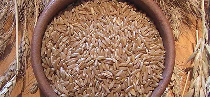 Risultati immagini per grano khorasan