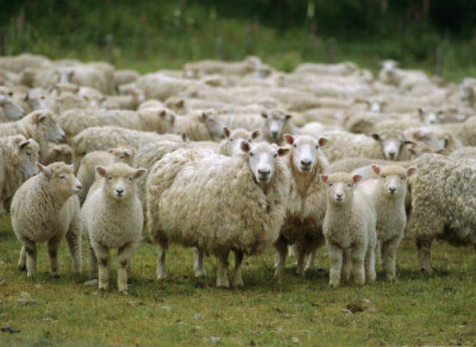 Cassinetta di Biandronno (VA): La Whirlpool assume 1200 pecore per tagliare l'erba