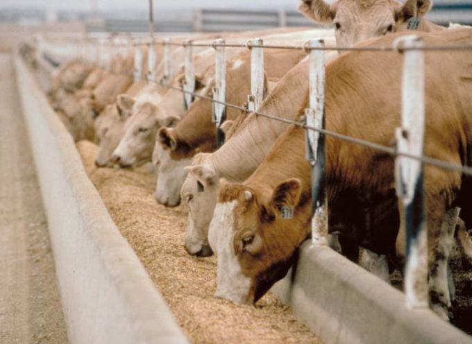 """Carne bovina, Confagricoltura: """"Bruxelles approvi in tempi brevi misure atte a invertire il trend negativo"""""""