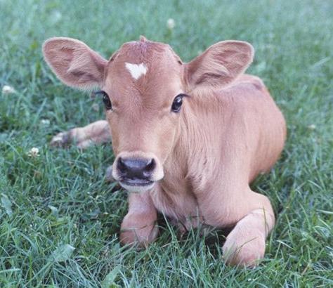 L'Argentina presenta Rosita, la mucca che produce latte umano