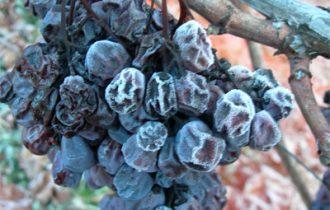 Imbottigliato il Vino del ghiaccio di Chiomonte