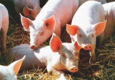 Europa, grossa crisi della carne di maiale
