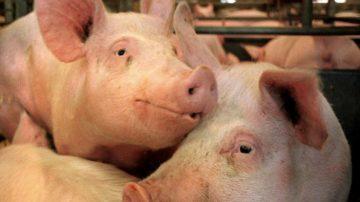 Falso Made in Italy: Blitz dei Nas in uno stabilimento di macellazione del Cremonese