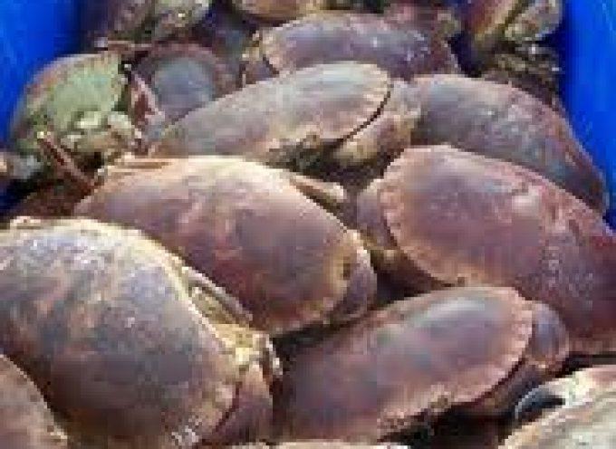 Avviso UE: il corpo dei granchi è ricco di cadmio