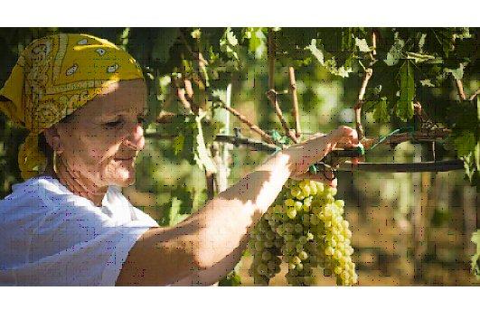Coldiretti, l'8 agosto inizia la vendemmia 2012