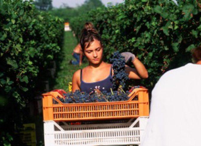La vendemmia italiana uccisa dalla burocrazia. Sostituiremo le viti (da vino) con i pannelli solari?