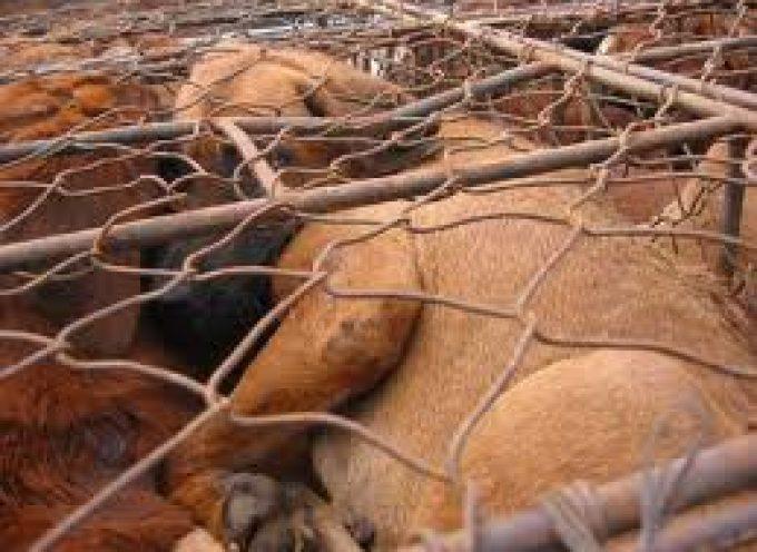 Carne di cane. Così si uccide e muore in Vietnam