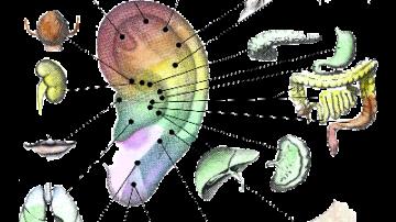 Auricoloterapia, il benessere a partire dall'orecchio
