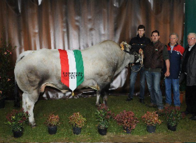 Grande successo per la 32ª Mostra Nazionale bovini di razza Piemontese