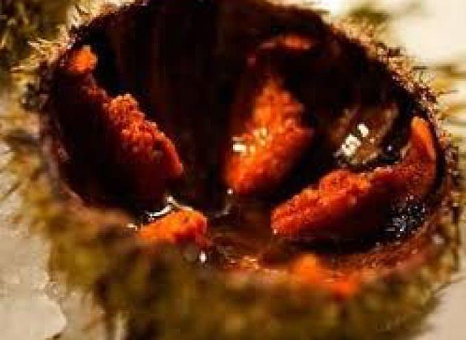 Parentesi di mare: ad Alghero va nel piatto il riccio di mare