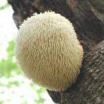 Funghi: la criniera di leone nuovo re della tavola