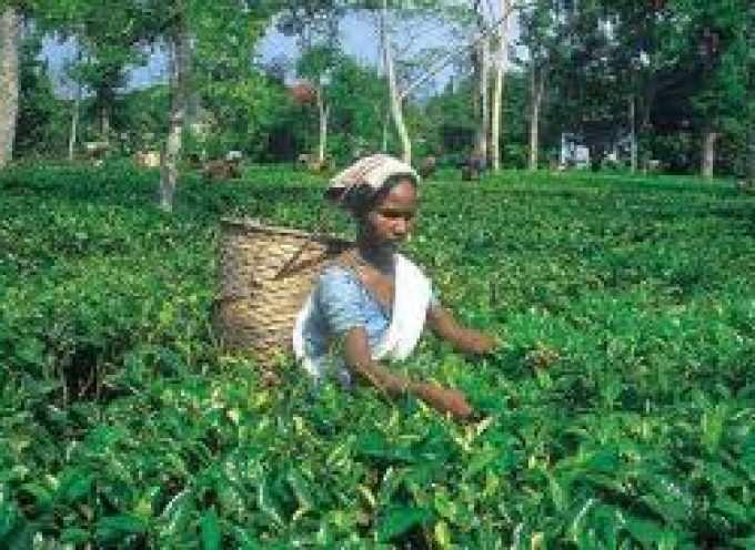 India, nel 2013 il tè diventerà bevanda nazionale