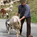 """Toscana, """"Vogliono far sparire il Pecorino"""": pastori sul piede di guerra"""