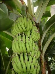 Banane e spezie .Cambia il clima, cambia l'agricoltura italiana