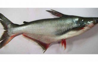 "Assoconsum: ""Sconsigliamo di mangiare il pesce pangasio"""