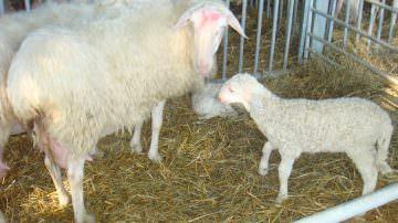 Murazzano (CN): Due giorni interamente dedicati alla pecora delle Langhe