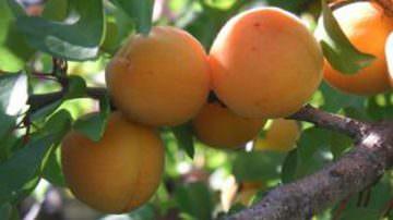 Convegno: La coltivazione dell'albicocco in Italia e le prospettive future