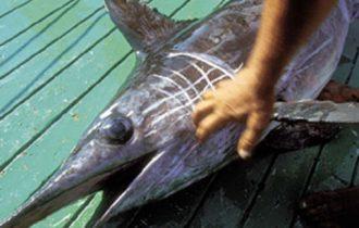 Pesce Spada, due mesi di stop alla pesca