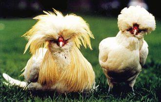 Scorta per le galline del governatore Lombardo