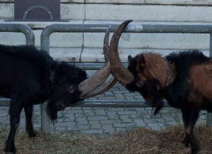 Carne, alla Foire des Alpes il meglio delle razze non bovine