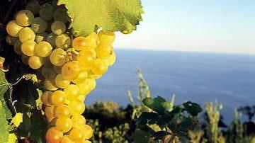 Vino, rinasce a Ponza il Biancolella dei Borboni
