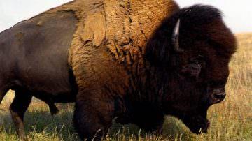 """Usa, boom della carne di bisonte: """"E' il salmone delle praterie"""""""