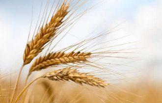 Nasce il Distretto del grano duro ad Altamura
