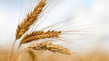 Il grano duro di alta qualità dell'Emilia-Romagna al Gruppo Barilla
