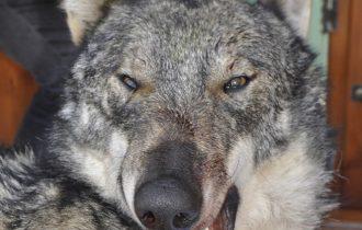 Dopo oltre 200 anni, un lupo raggiunge l'area della Malpensa