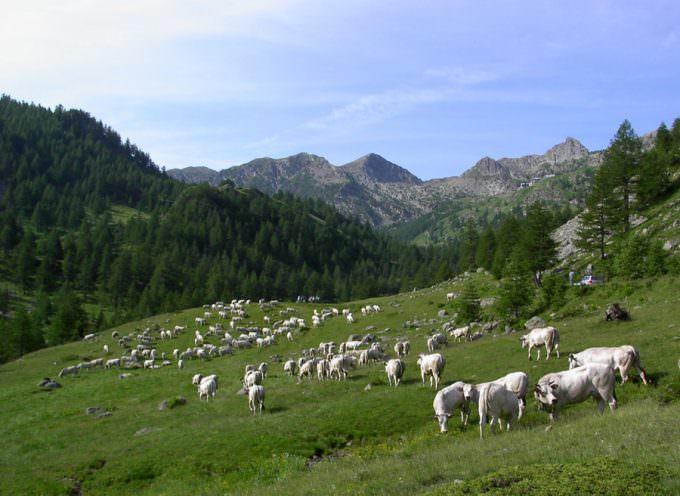 Cuneo: 1000 malgari e 30 mila capi di razza Piemontese in partenza per gli alpeggi